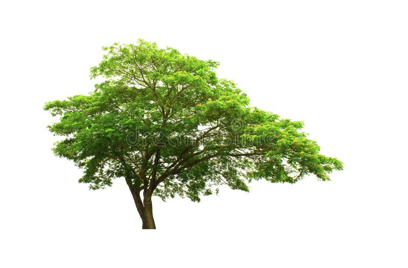 Rain Tree or East Indian walnut tree isolated on white background with clipping path. royalty free stock image