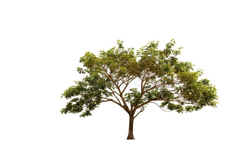Rain Tree or East Indian Walnut or Samanea Saman tree isolated on white background with clipping path. royalty free stock image