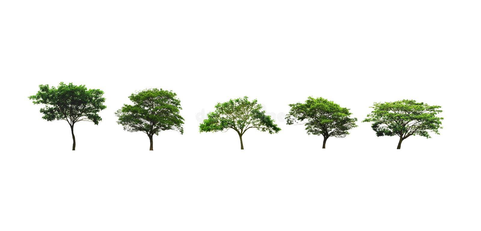 Set of Rain Tree or East Indian walnut tree or silk tree growing up in the countryside isolated on white. Rain Tree or East Indian walnut tree or silk tree stock images