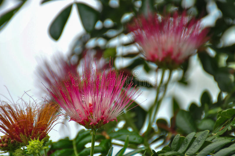 Rain tree flowers royalty free stock image