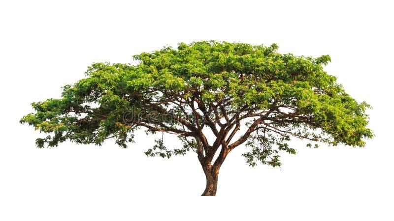 Rain tree (Samanea saman) stock images