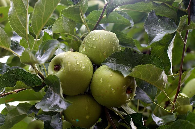 Rain Washed Apples royalty free stock images