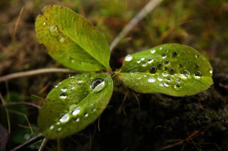 Rain water droplets on plant leaves outdoors in garden stock photography
