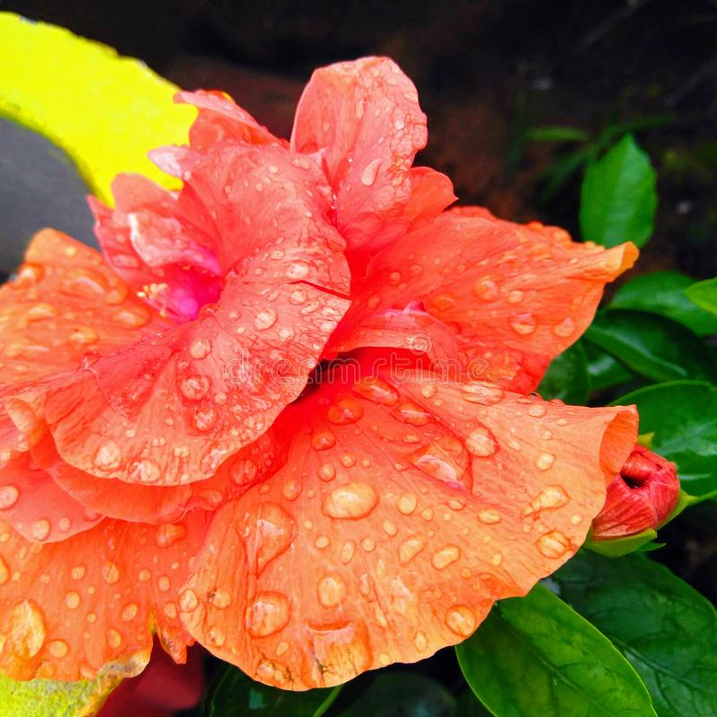 Rain/water drops in the petals of orangish red flower blooming in the garden, flower pattern photography. Rain/water drops in the petals of orangish red flower royalty free stock image
