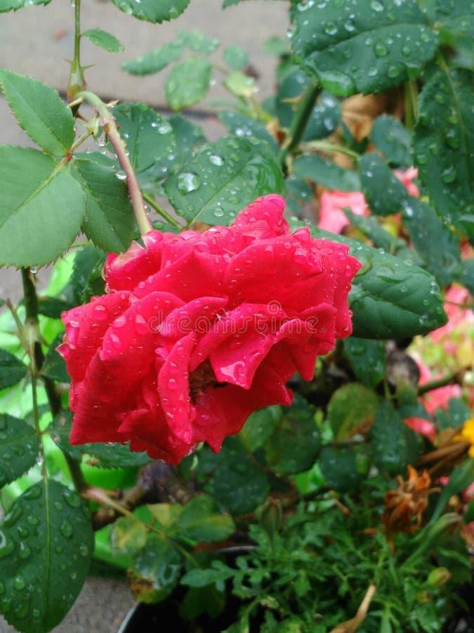 Rain wet rose stock image