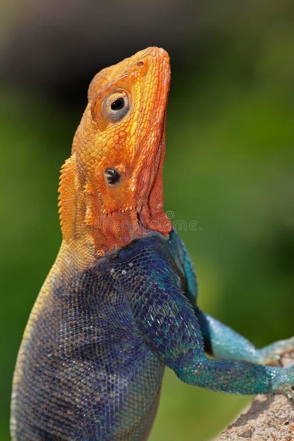Rainbow Agama Stock Photo
