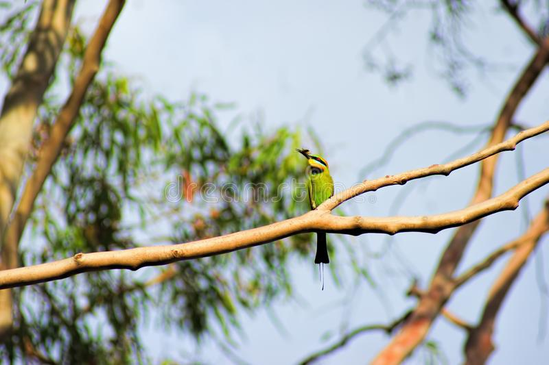 Rainbow Bee Eater with Bee. The Rainbow Bee-Eater is a spectacular bird. With its green, blue, chestnut and yellow plumage, its slim build, slender curved bill stock image