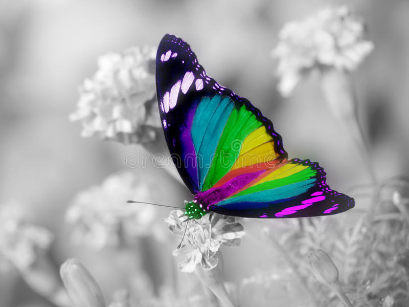 Rainbow butterfly colorful wings. A butterfly colored in all the colors of the rainbow, vibgyor wings and very attractive, placed on a black and white