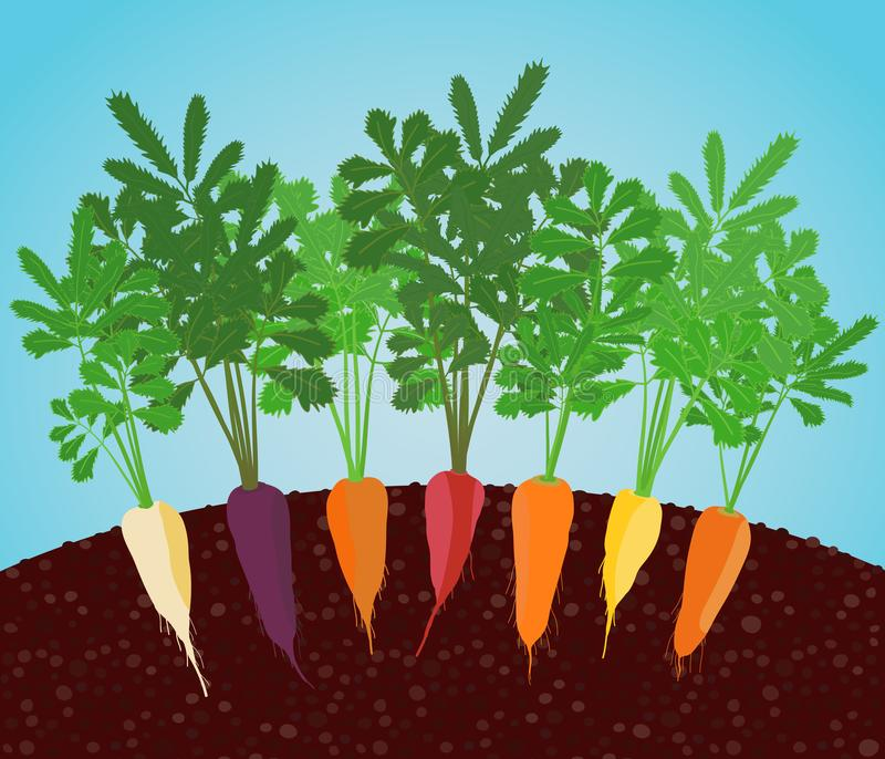 Rainbow Carrots Illustration. Growing vegetables. Rainbow Carrots Illustration. Growing vegetables in the soil. A garden bed of carrot. Classic orange, purple royalty free illustration