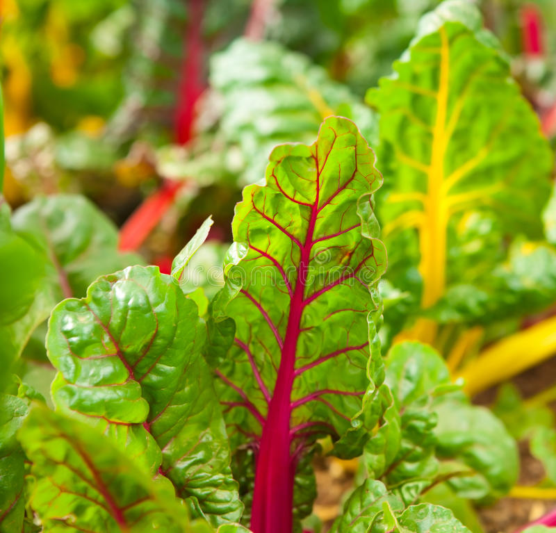 Rainbow chard. Growing in a garden stock photography