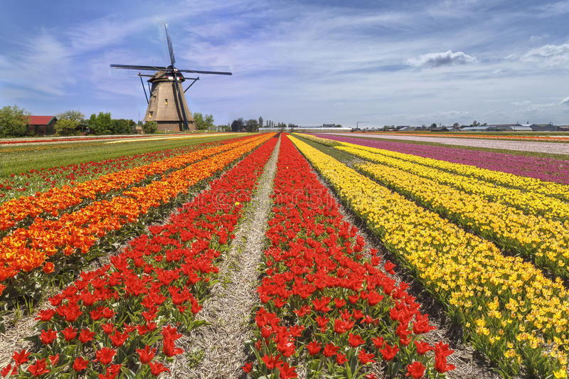 Rainbow color tulip farm. Iconic beautiful and colorful tulip farm with a windmill landscape at Lisse during the spring season stock photography