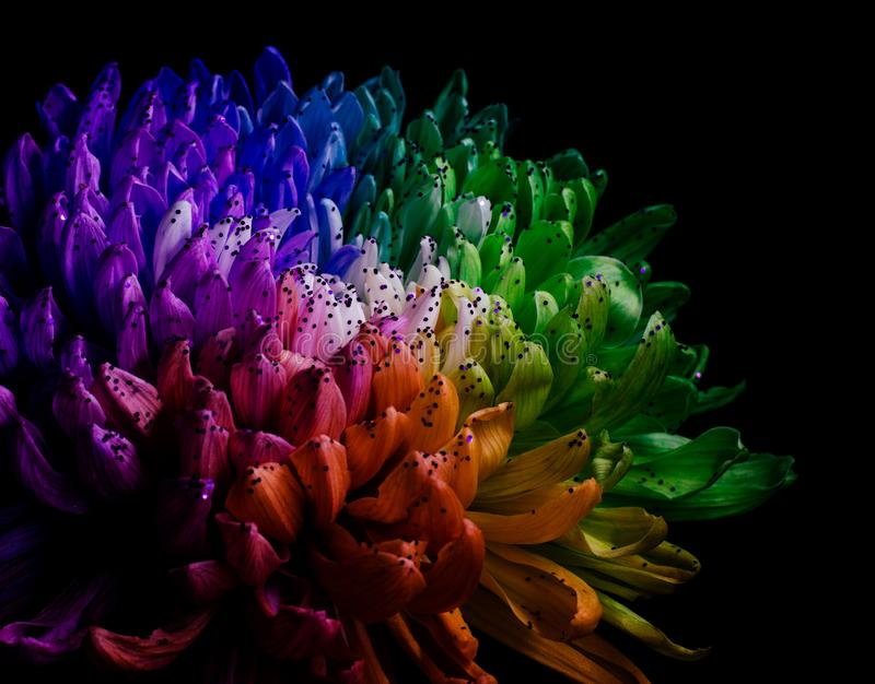 Rainbow Colored Dahlia. Low Key studio shot of a bright flower. Good for screen background wallpapers. Rainbow Colored Dahlia on a black background. Low Key stock image