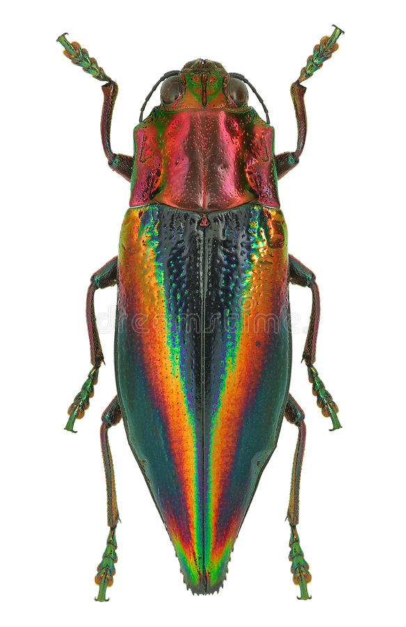 Rainbow coloured Jewel beetle Cyphogastra javanica from Indonesia stock photo