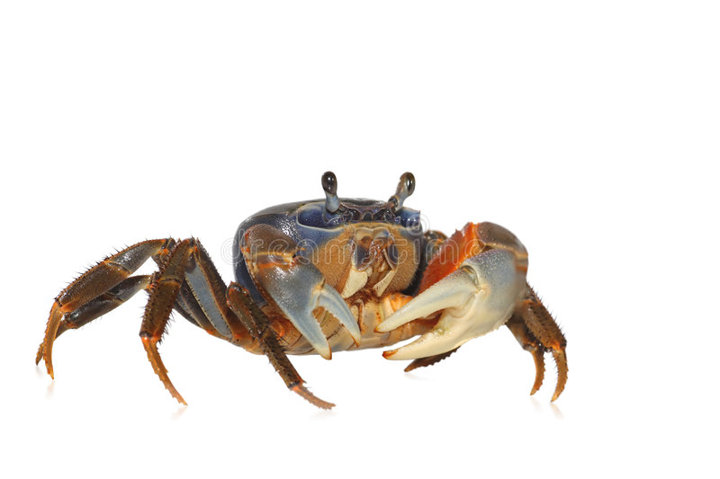 Download Rainbow Crab Stock Image - Image: 8483741