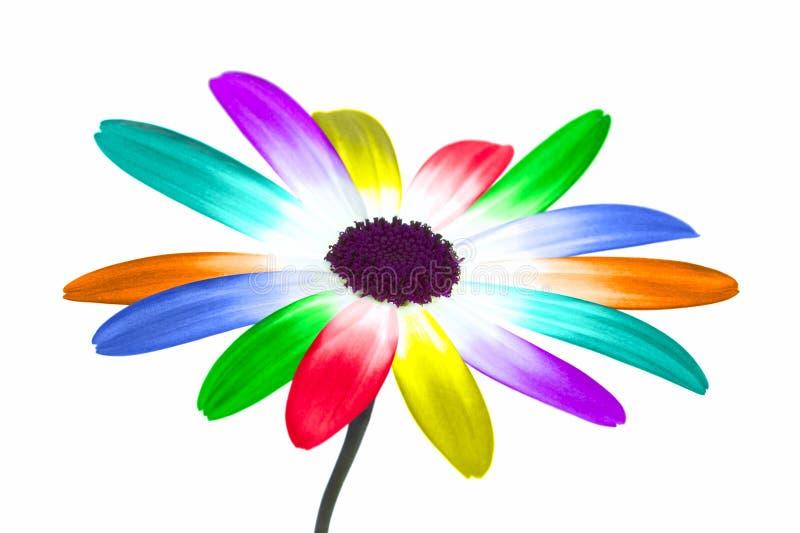 Rainbow daisy stock photography