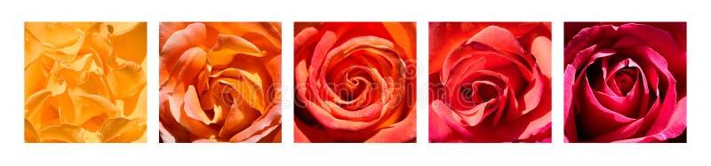 Rainbow dei cuori della Rosa fotografia stock