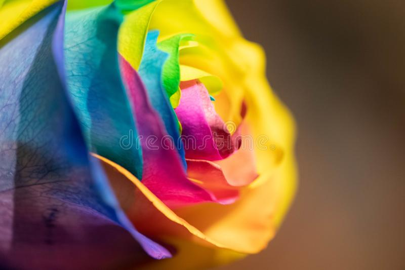 Rainbow dyed rose royalty free stock images