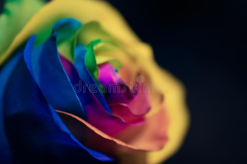 Rainbow dyed rose with dark background royalty free stock photos