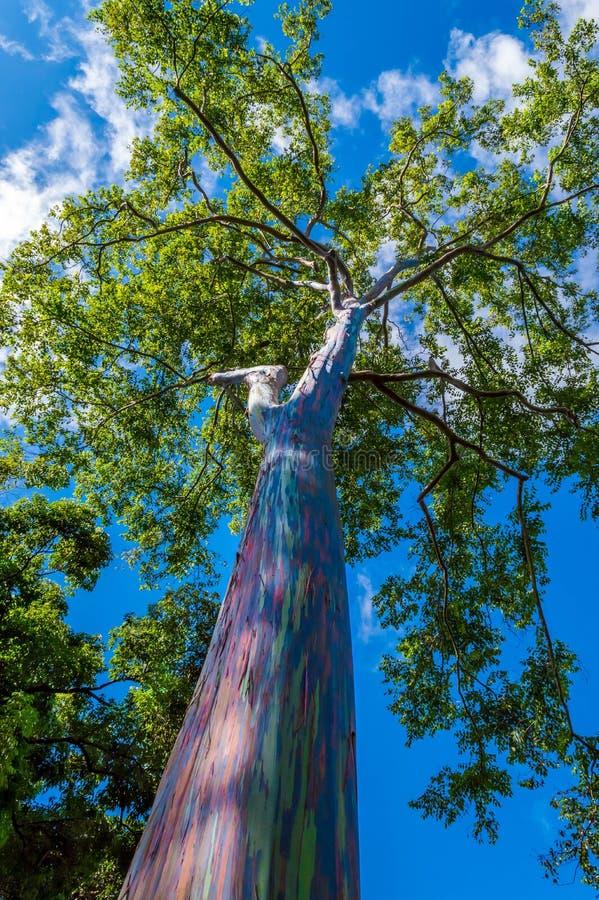 Rainbow Eucalyptus. Eucalyptus deglupta or rainbowgum tree has a unique multi-hued bark stock photography