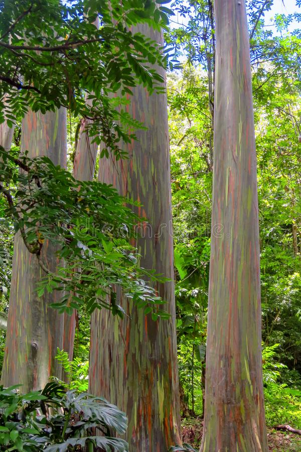 Rainbow eucalyptus Eucalyptus deglupta with colorful bark, Maui, Hawaii. Rainbow eucalyptus Eucalyptus deglupta, a tree with an incredible colorful bark, near Ke stock photos