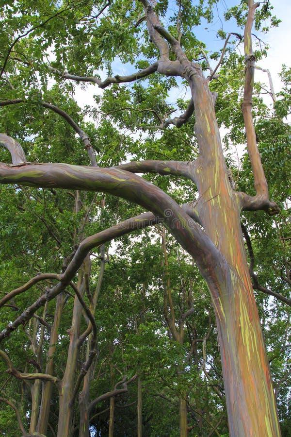 Download Rainbow Eucalyptus Tree Closeup Stock Image - Image: 28372105