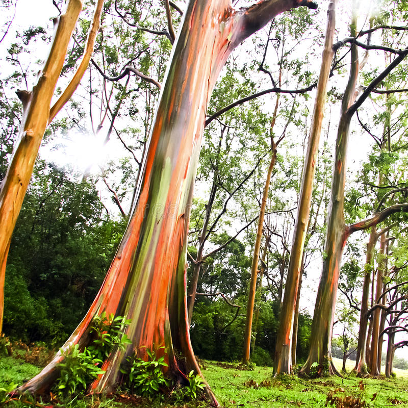 Rainbow Eucalyptus trees stock photography