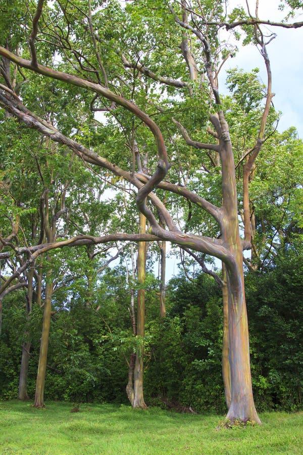 Download Rainbow Eucalyptus Trees stock photo. Image of colorful - 28372076
