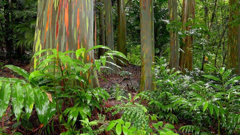 Rainbow Eucalyptus Trees in Hawaiian Rainforest stock photos