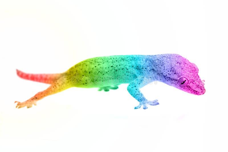 Rainbow gecko stock image