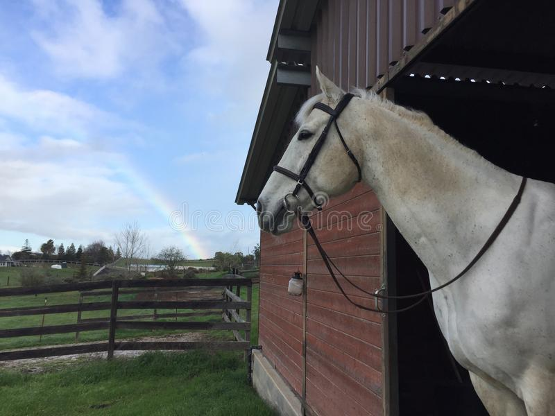 Rainbow, gray horse wearing a bridle and barn with green grass royalty free stock image