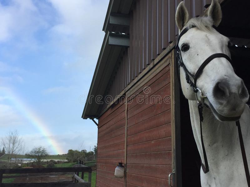 Rainbow, gray horse wearing bridle and barn with green grass royalty free stock images