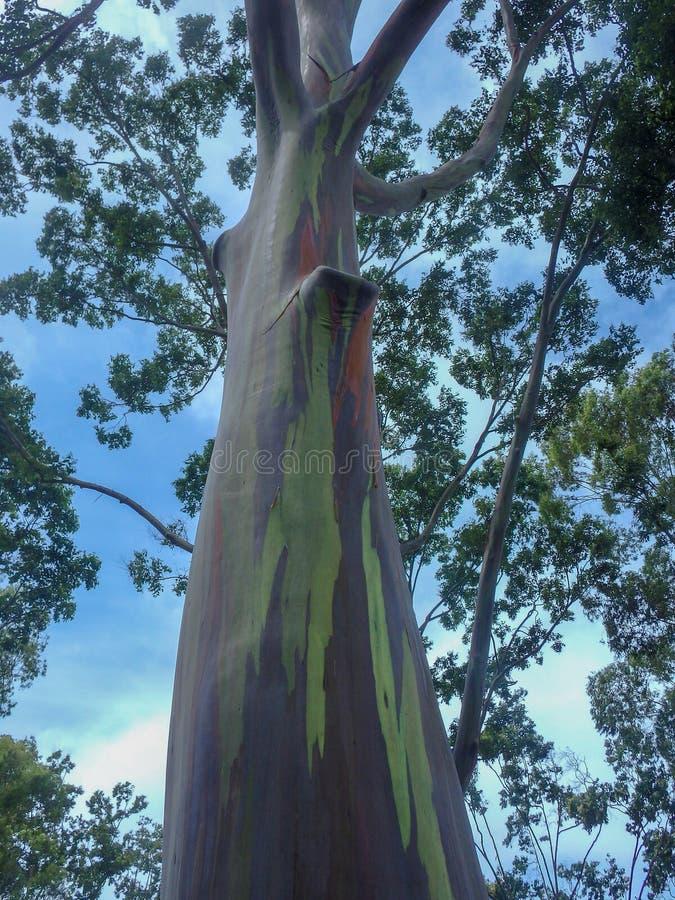 Rainbow Gumtree stock photos