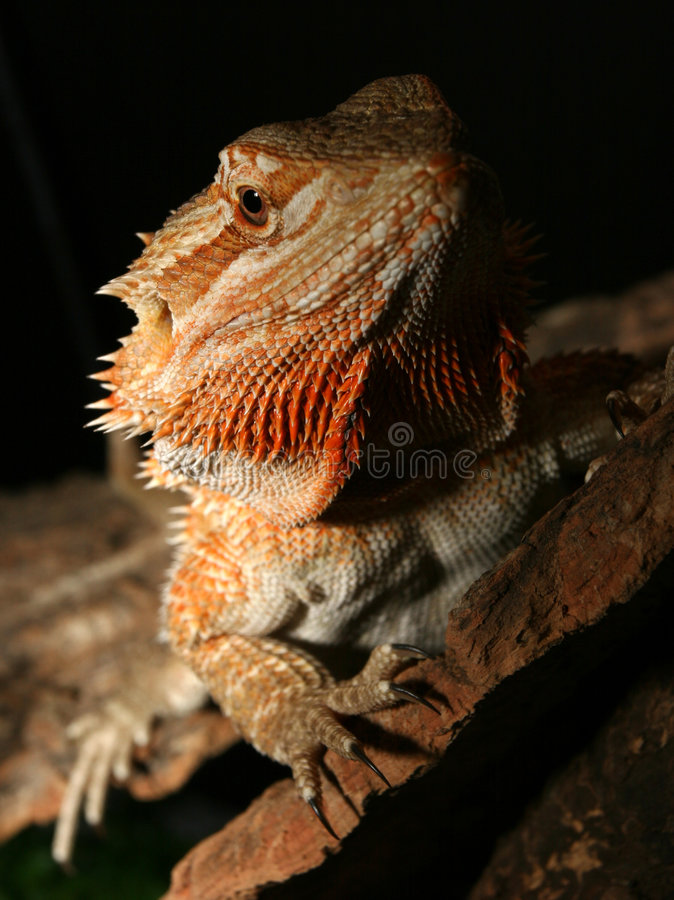 Rainbow Lizard royalty free stock images