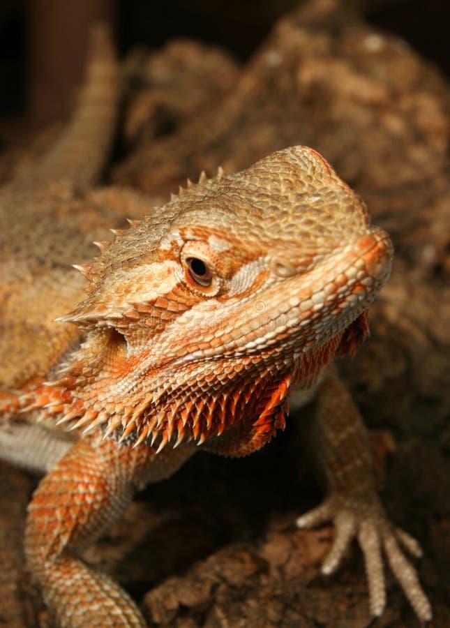 Rainbow Lizard stock image