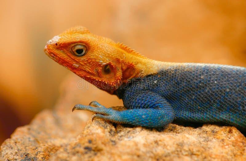 Rainbow Lizard stock photos