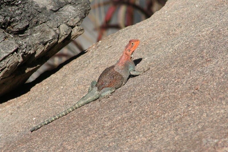 Rainbow lizard (Agama agama) royalty free stock photography