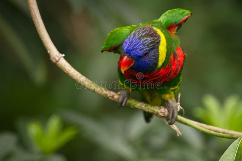 Rainbow Lorikeet immagini stock libere da diritti