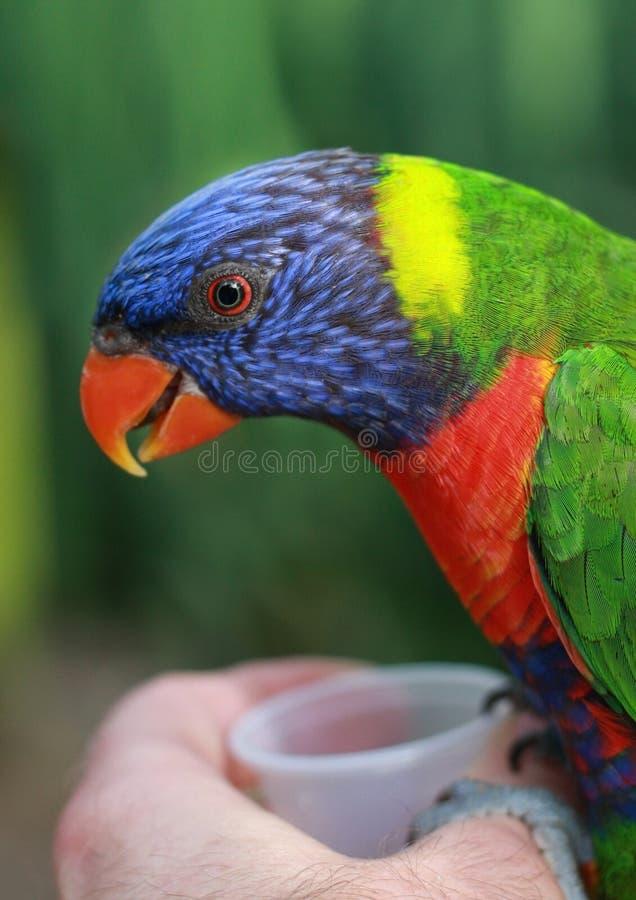 Free Rainbow Lorikeet Stock Image - 20293831