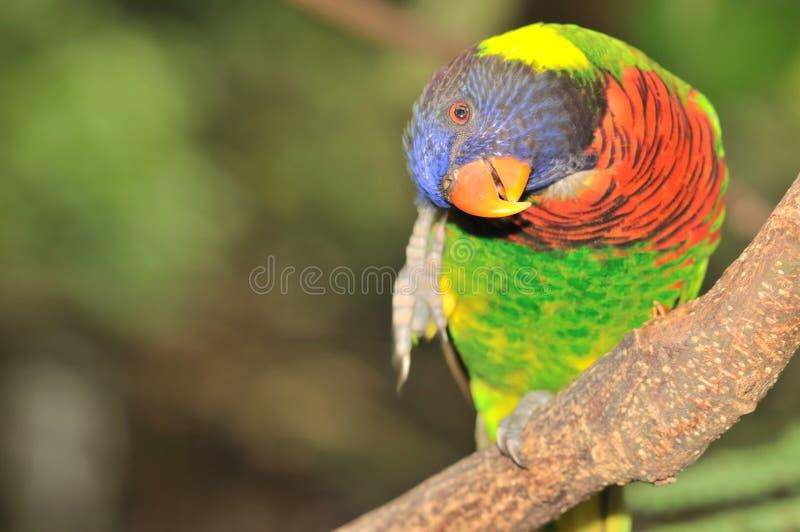 Download Rainbow Lorikeet stock photo. Image of beauty, bright - 20870840
