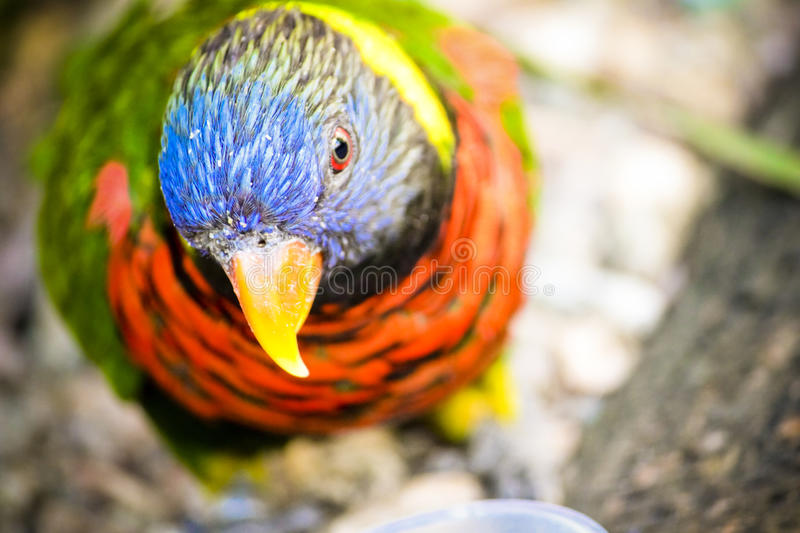 Rainbow Lorikeet. The rainbow lorikeet is one of the most colourful bird/parrot known, beautiful rainbow colours royalty free stock photography