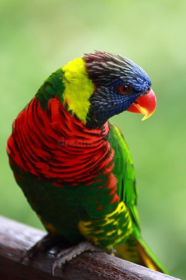 Free Rainbow Lorikeet Royalty Free Stock Photography - 7889947