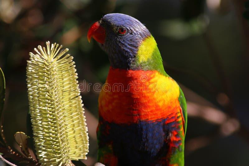 Rainbow Lorikeet immagini stock