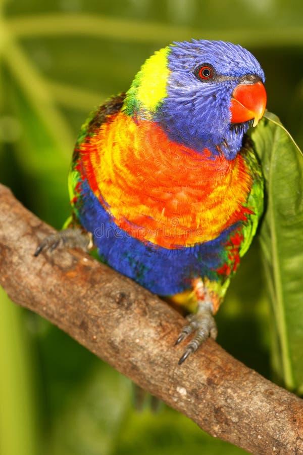 Rainbow Lorikeet stock photography
