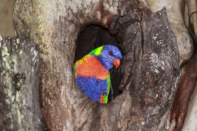 Rainbow Lorikeet sits in a hole in a tree trunk royalty free stock images
