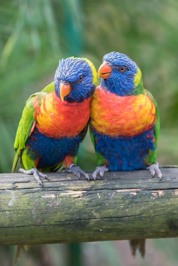 Rainbow lorikeet, parrots royalty free stock photo