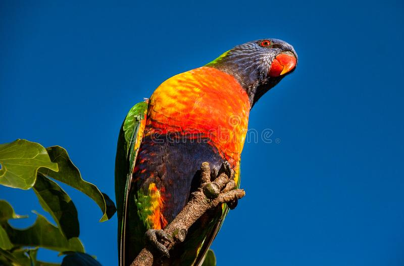 Rainbow lorikeet clasping a twig at the end of an Illawarra Flame Tree. Rainbow lorikeet grasping a branch of an Illawarra Flame Tree - Brachychiton Acerifolius stock images