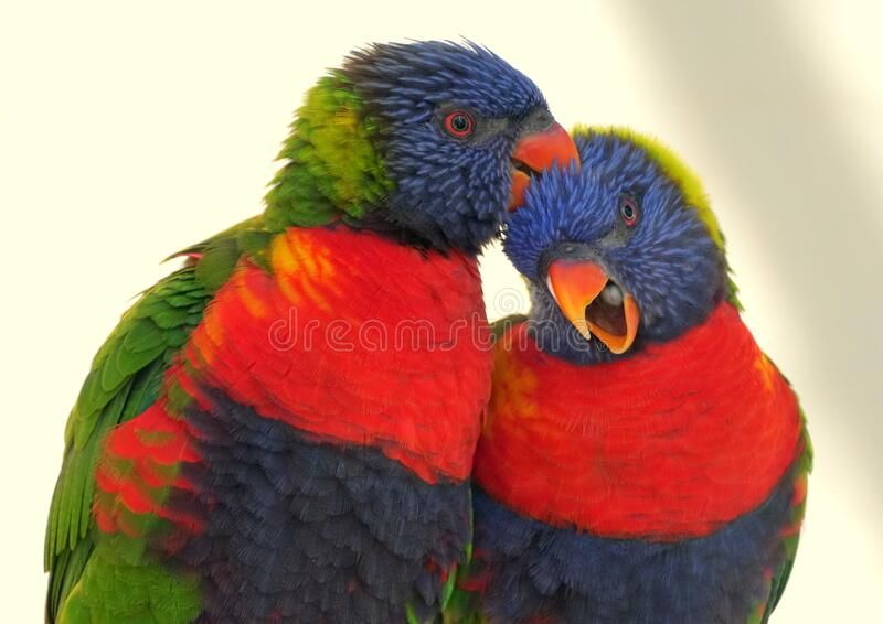 A rainbow lorikeet cleaning the feathers on its partner stock photos