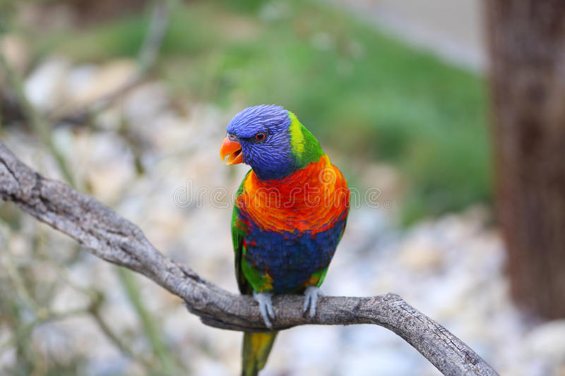Rainbow Lorikeet Closeup Perched On A Tree Branch royalty free stock photography