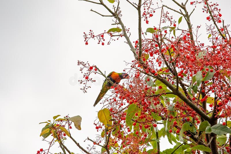 A Rainbow Lorikeet In A Flame Tree. A rainbow lorikeet feeding on the nectar of flame tree blossoms royalty free stock photo