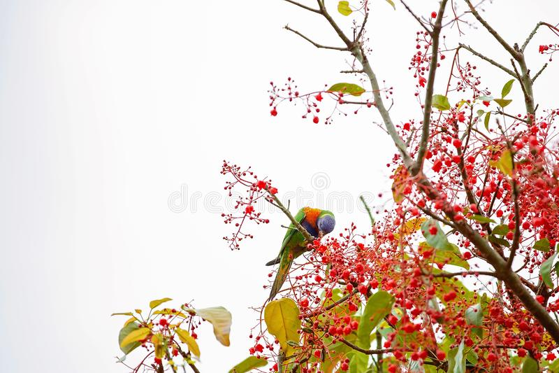 A Rainbow Lorikeet In A Flame Tree. A rainbow lorikeet feeding on the nectar of flame tree blossoms royalty free stock photos